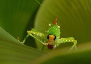 Suriname: Katydid (Copiphora longicauda)