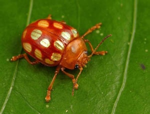 Suriname: Leaf beetle (Stilodes sedecimmaculata) is found only in the Guyana Shield