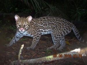 Suriname: The ocelot (Leopardus pardalis) is a medium sized cat