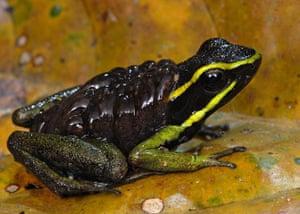 Suriname: Three-striped poison dart frog (Ameerega trivitatta) carrying tadpoles