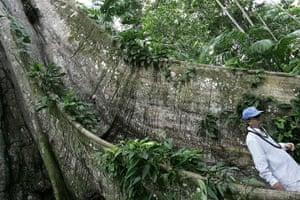 Big Trees: UN Secretary General Ban Ki-moon passes by centenary tree known as Sumauma