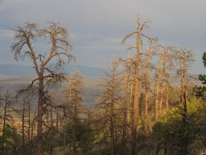 Big Trees:  dead ponderosa pines in the Jemez Mountains of New Mexico