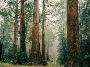 Big Trees: Mountain Ash forest Yarra Ranges National Park, Victoria, Australia.