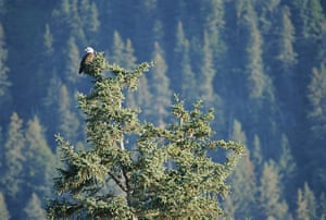 Big Trees: American bald eagle perched in a Sitka spruce tree