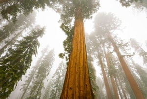 Big Trees: Giant Sequoia trees in snow and fog in Sequoia National Park, California