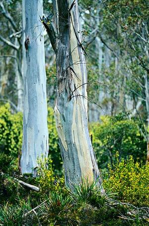 Big Trees: South East Tasmania: Tasmanian Blue Gum, Eucalyptus globulus,