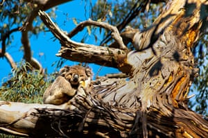 Big Trees: Koala sleeping