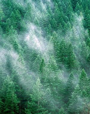 Big Trees: Douglas Fir Trees