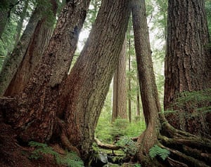 Big Trees: Douglas Firs in Sol Duc Rain Forest