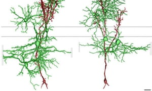 Computer reconstructions of newborn granule cells
