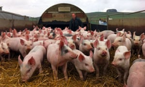 Pigs at West End Farm in Wiltshire