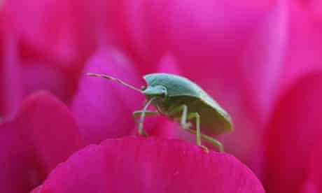 A Green Shield Bug photographed on flowers in a garden in Brixton, London is a real survivor as many UK insects have struggled with the particularly wet and cold summer according to the wildlife charity 'The Buglife Conservation'.