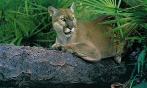Florida Panther. Photograph: http://www.flickr.com/photos/usacehq/