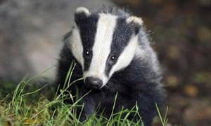 Badger cull