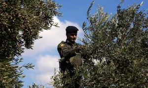 Olives in the West Bank
