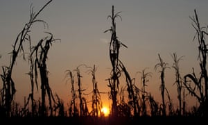 Drought-withered corn stalks in Indiana, August 2012