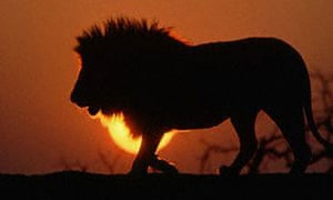 Male Lion Silhouetted at Sunset