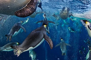 2012 Veolia: Environnement Wildlife Photographer of the Year Bubble-jetting emperors