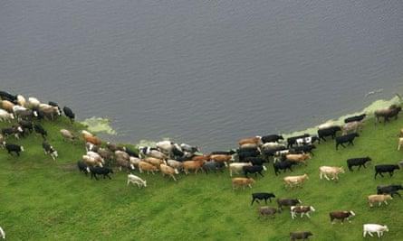 Cows walk around flood water