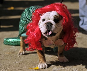 dog-parade: Chopstick the Bulldog dressed as a Mermaid