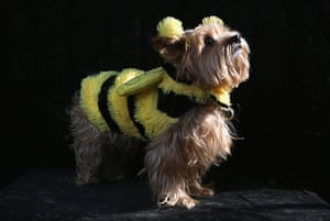 Halloween dogs: Daisy poses as a bumble bee