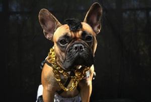 Halloween dogs: Gus, a boxer, poses as Mr. T from the A-Team