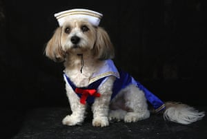 Halloween dogs: Lola, a coton breed, poses as sailor