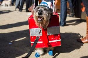 Halloween dogs: Nacho, a schnauzer, is a tourist bus