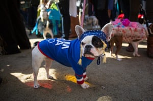 Halloween dogs: Lula, a french bull dog, is dressed as an Olympic gymnast