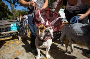 Halloween dogs: Murphy, a bull dog dressed as a triceratops