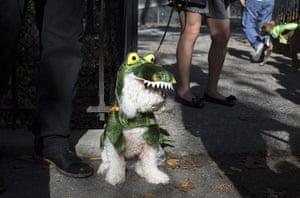 Halloween dogs: A Bichon Frise dog wears a dragon costume