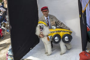 Halloween dogs: A standard poodle dressed as taxi has it's photo taken with its owner