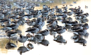 Wild geese stand in the shallow water of a pond in Linum, north-east of Berlin. The migratory birds are preparing to move towards their wintering grounds in the south