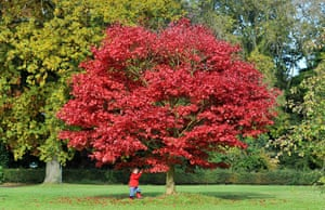 Autumn colours: Ben, 18 months, plays with leaves from a Acer tree, Cheshire