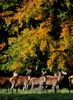 Autumn colours: Deer stand in front of the autumn leaves at Studley Royal Deer Park