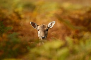 Autumn colours: A young deer hides amongst the autumnal bracken at Knutsford, England