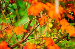 Autumn colours: A Robin sits in the red orange shade of an Acer japonicum