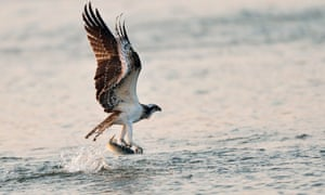 An osprey snatches a fish on the Hyeongsang river in Pohang, South Korea