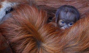 Emma the Sumatran Orangutan holds her unnamed three-day-old baby at Chester Zoo.