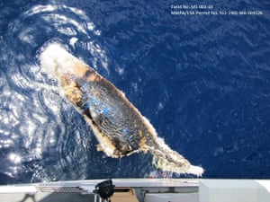 BP Deepwater: A dead sperm whale in the Gulf of Mexico