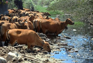 Toxic pollution: Cattle drink poluted water at a garbage dump