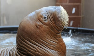 More wildlife news: Mitik, an orphaned walrus calf rescued off the coast of Barrow, Alaska, continues to recover at the Wildlife Conservation Society's New York Aquarium.  He receives around-the-clock care from the animal care staff and vets.