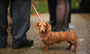 Sausage, a Miniature Dachshund belonging to Tory MP Laurence Robertson