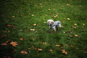 Westminster Dog: A dog plays on the grass outside The Houses of Parliament