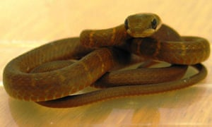 Furtivo, the Mexican snake found on a plane at Glasgow airport