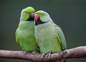 Wildlife in the city: Two Ring Necked Parakeets (psittacula krameri) bonding