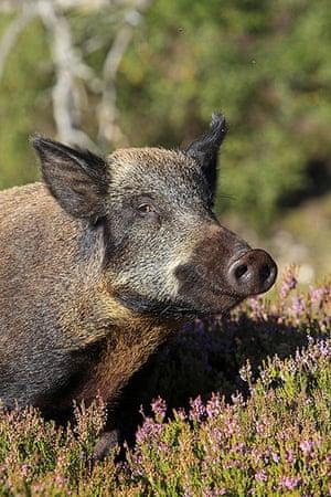 Wildlife in the city: Wild Boar (Sus scrofa)