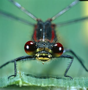 Wildlife in the city: Head of the large red damselfly