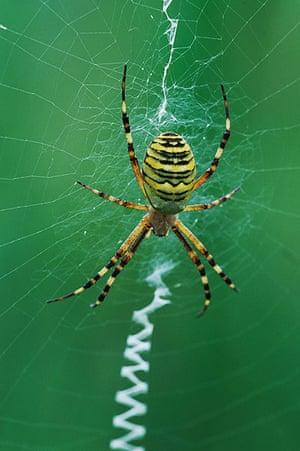Wildlife in the city: Wasp Spider Argiope bruennichi