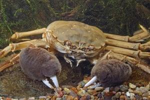 Wildlife in the city: chinese mitten crab (Eriocheir sinensis)